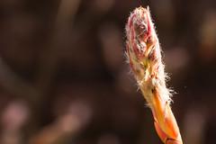 Amelanchier lamarckii (Michel Vedder) Tags: flowers gardens arnhem nederland jardin nl bloemen gelderland knoppen efs60mm tuinen snowymespilus amelanchierlamarckii gardenphotography krentenboompje canoneos100d tuinfotografie krentenboompjes