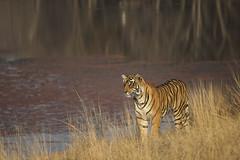 Tiger in Lakeside (varmarohit) Tags: wild india nature wildlife tiger wilderness rohit rajasthan ranthambore naturephotography wildlifephotography wildindia indianforest royalbengaltiger naturephotograph ptigris wildlifephotograph rohitvarma