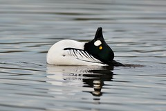 Yoga duck (Adam Wang) Tags: bird nature duck goldeneye