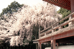 sakura'14 daigoji-6 (転倒虫) Tags: japan temple kyoto 京都 桜 sakura fushimi daigo さくら サクラ 醍醐寺 醍醐 daigoji 伏見 ふしみ だいご