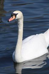 The Serpentine (richardr) Tags: uk greatbritain england bird london english water swan europe european unitedkingdom britain british hydepark kensington kensingtongardens europeanunion serpentine kensingtonchelsea kensingtonandchelsea tipustiger