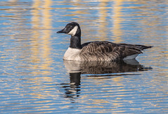 Canada Goose (Jan Crites) Tags: nature outdoors iowa goose mississippiriver canadagoose leclaire lockanddam14 jancritesphotography