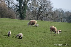 20160314-DSCF2059 Sheep Spring Lambs and Ewes Kibworth Leicestershire.jpg (rodtuk) Tags: england nature mammal leicestershire places kit agricultural b24 midlands phototype xt1 kibworth kibworthharcourt