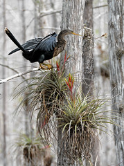 ANHINGA, CYPRESS, AND BROMELIA (concep1941) Tags: nature birds outdoor swamps rivers fisherbirds freshwatermarshes