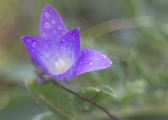 Nature's wonder (diego_russo) Tags: sardegna flower purple flor violet swirl fiore rugiada daw rocio trioplan frore diegorusso orrsiu