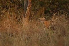 Maya's cub @TATR (Tan Ahmed) Tags: summer india forest canon cub stripes wildlife tiger jungle apex 7d maharashtra cubs predator 500mm goldenlight tanveer indianwildlife 500mmf4 tatr tanveerahmed tanahmed 7dm2