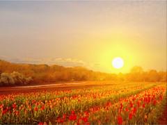 SUNRISE WITH TULIPS (hans 1960) Tags: light red sky sun colour rot sol nature fleur sunrise germany outside atardecer golden licht soleil spring tulips outdoor natur blossoms himmel compo sonne farben frhling tulpen floer blumenfeld