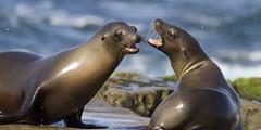 Sea Lion Conversation (San Diego Shooter) Tags: cool sandiego lajolla sealions uncool sealion lajollacove cool2 cool5 cool3 cool6 cool4 cool7 uncool2 uncool3 uncool4 iceboxcool c6u4j