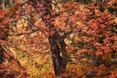 NOT A LEMON TO BE FOUND (Irene2727) Tags: autumn autumnfoliage trees arizona fall nature leaves tuscon fallfoliage foliage mtlemmon