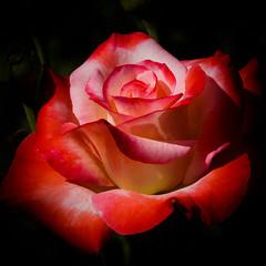 Soraya (Jack o' Lantern) Tags: roses rose soraya masterphotos fleursetpaysages rosesforeveryone