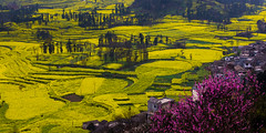 (sunnyha) Tags: china county flowers plant color colour yellow canon landscape outdoors spring colours photographer sony chinese nopeople photograph  yunnan  photographier canola  rapeseed 6d      chinalandscape  chineselandscape eos6d ef70200mmf4lisusm  cmwdyellow sunnyha  luopingcounty sonyilce7rm2 a7rm2 a7rll