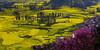 羅平 螺絲田 (sunnyha) Tags: china county flowers plant color colour yellow canon landscape outdoors spring colours photographer sony chinese nopeople photograph 中国 yunnan 花 photographier canola 中國 rapeseed 6d 油菜花 春天 佳能 雲南 攝影 chinalandscape 寫真 chineselandscape eos6d ef70200mmf4lisusm 羅平 cmwdyellow sunnyha 中国風景 luopingcounty sonyilce7rm2 a7rm2 a7rll 縲絲田