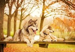 Nordic Friends (Elisa Pirat) Tags: dog pet nature golden husky bokeh cousins lumire malamute chiens