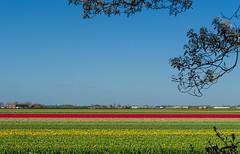 Keukenhof (sxdlxs) Tags: flowers flower color colour colors spring nikon colorful colours frhling keukenhof d5100
