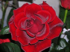 A morning flowers, Beautiful red roses (PhotographyPLUS) Tags: pictures graphics photos illustrations images stockphotos articles footage stockimage freephoto stockphotograph