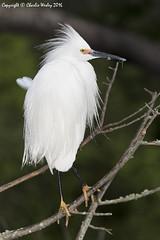 Snowy In Bush (wesjr50) Tags: birds canon nest flash ii 7d beamer better mk avian rookery snowyegret nests staugustineflorida breedingplumage wadingbirds staugustinealligatorfarm canonef100400mmf4556iszoom
