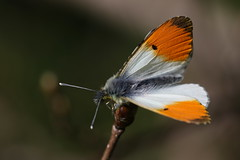 Orange Tip Butterfly (Chris*Bolton) Tags: ireland nature butterfly insect spring wildlife butterflies sunny insects wicklow orangetip orangetipbutterfly rathdrum