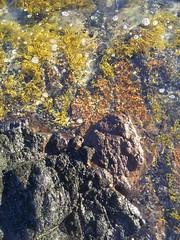 On the beach (WeFive5) Tags: brown seaweed beach water stone seaside ripple samsung bubbles aquatic aquaticlife westernportbay flindersvictoria beachlifeaustralia