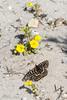 Variable Checkerspot (Euphydryas chalcedona) nectaring on Vandenberg Monkeyflower (Diplacus vandenbergensis) (aliceinwl1) Tags: arthropod arthropoda brushfootedbutterfly burtonmesachaparral butterfly ca cnps1b1 california candidate chalcedoncheckerspot checkerspot coloncheckerspot diplacusvandenbergensis diplaucusfremontii euphydryas euphydryaschalcedona insect insecta lepidoptera melitaeini mimulus mimulusfemontii mimulusfremontiivarvandenbergensis mimulusvandenbergensis nymphalidae nymphalinae papilionoidea phrymaceae plantae santabarbaracounty v vandenbergmonkeyflower variablecheckerspot annual chalcedona fremontii locnoone monkeyflower plant vandenbergensis viseveryone wildflower yellow
