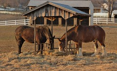 Red and Tonka (susanmbarlow) Tags: horse photograph delaware equus clydesdale percheron carouselpark newcastlecounty newcastlecountypark newcastlecountymountedpatrol