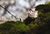IMG_9416 (elenafrancesz) Tags: uw cherry blossoms wordless