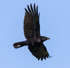 Corneille en vol (eos70d.a5000) Tags: inflight corneille crow envol valledelarve canoneos7dmarkii tamronsp150600divcusd