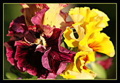 Ruffled Pansies (bigbrowneyez) Tags: flowers macro nature beautiful amazing pretty bright gorgeous victorian sunny natura romance fresh fancy stunning romantic colourful lovely elegant fiori striking pansies luce artful eyecandy fancypants delightful oldfashioned ruffledpansies flickrruffled