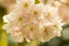 20160424-06_A little bit of Pink (gary.hadden) Tags: park flowers macro tree spring memorial pretty romantic coventry floweringcherry topgreen