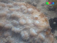 Elephant nose coral (Mycedium elephantotus) (wildsingapore) Tags: nature island marine singapore underwater wildlife shore intertidal seashore marinelife cnidaria wildsingapore scleractinia mycedium merulinidae terumbubemban elephantotus
