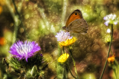 ... (Theophilos) Tags: flowers nature butterfly spring bokeh crete rethymno