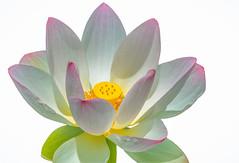 Lotus Blossom Light (12bluros) Tags: plant flower macro petals flora lotus 1001nights nybg newyorkbotanicalgarden aquaticplant 1001nightsmagiccity