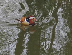 Mandarin duck (stanzebla) Tags: reflection mandarinduck reflexion aixgalericulata schlossschwetzingen mandarinente canardmandarin