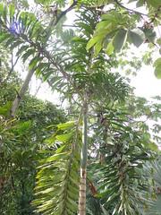 Socratea exorrhiza (sftrajan) Tags: colombia palmtree jardimbotnico botanicgarden botanicalgarden medellin jardnbotnico  ortobotanico walkingpalm arecaceae  palmgarden socratea botanischetuin botanisktrdgrd socrateaexorrhiza zancona jardnbotnicodemedelln racesareas jardnbotnicojoaqunantoniouribe medellinbotanicgarden cashapona botanicalgardenofmedelln medellnbotanicgarden palmeraquecamina