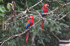 Scarlet Macaws at Tambopata Research Center in Peru-09 5-31-15 (lamsongf) Tags: travel peru southamerica tambopata amazonbasin