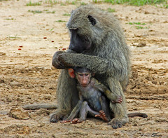 Olive Baboon with Baby (v seger) Tags: africa baby animal wildlife mother olive baboon uganda paraa