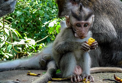 Eating banane (thierryhaphotosvoyages) Tags: voyage trip travel viaje bali fruit indonesia monkey mono java eating banana platano banane ubud denpasar comiendo singe indonsia
