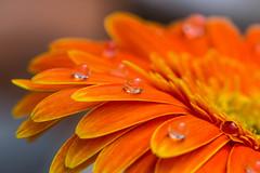 Petals and droplets (Satyajeet Sahu) Tags: flowers macro nature colors droplets petals tamron90mm orangegerbera canonphotography flowerphotography canoneos600d