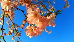 Tervuren (Monsieur Tout Le Monde) Tags: world pink blue brussels sky beauty spring peace belgium natural blossom petal april tervuren delicate fragile gentle 2016
