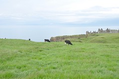 Causeway Cows (Lisa_Jardine) Tags: county northernireland portrush countyantrim antrim causewaycoast eaststrand eaststrandportrush northcoastofireland