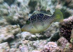 the mimic that wasn't (Mauritius100) Tags: toby fish underwater sony difference mauritius mimic mimicry rx100 batesianmimicry paraluteresprionurus mimicfilefish mauritius100