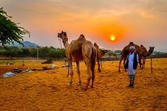 Golden sand and sunset... (mehtasunil) Tags: travel sunset sky sun beautiful sand desert camel pushkar goldenhour rajasthan ajmer leicacamera indiapictures leicalens leicaq leicaforum leicaimages leicaindia indiashutterbugs
