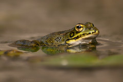 Watchful (Luis-Gaspar) Tags: portugal animal nikon iso400 amphibian frog oeiras 1800 f56 ra d60 anfibio ranaperezi 55300 pelophylaxperezi raverde racomum perezsfrog