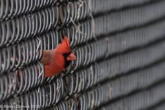 Don't fence me in (rdroniuk) Tags: birds cardinal oiseaux smallbirds cardinaliscardinalis northerncardinal passerines cardinalrouge passereaux