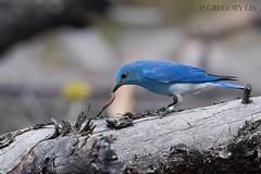 Mountain Bluebird (Gregory Lis) Tags: britishcolumbia kamloops mountainbluebird sialiacurrucoides nikond810 gorylis gregorylis