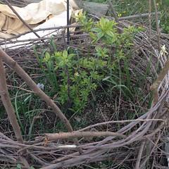 Plum Tree (lady-ursula) Tags: plumtree wattle springgarden midapril