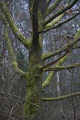 Green cloak (Sven Rudolf Jan) Tags: green forest gteborg moss sweden gothenburg skog trunk rekjrr