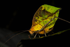 Leggy Leaf (antonsrkn) Tags: wild orange cloud macro green nature animal yellow night forest bug insect leaf ecuador nikon colorful pretty nocturnal wildlife small reserve cricket camouflage andes grasshopper nikkor katydid mimic antennae invertebrate entomology buenaventura