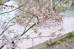 20160410-DSC_8503.jpg (d3_plus) Tags: sky plant flower history nature japan trekking walking temple nikon scenery shrine bokeh hiking kamakura fine daily bloom  28105mmf3545d nikkor    kanagawa   shintoshrine   buddhisttemple dailyphoto   thesedays kitakamakura  28105   fineday   28105mm  historicmonuments  zoomlense ancientcity       28105mmf3545 d700 281053545 nikond700  aiafzoomnikkor28105mmf3545d 28105mmf3545af aiafnikkor28105mmf3545d