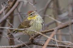 Happy (rdroniuk) Tags: birds oiseaux smallbirds warblers palmwarbler passerines passereaux parulines parulinecouronnerousse setophagapalmarum