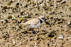 Little Ringed Plover (charadrius dubius) (phat5toe) Tags: nature birds nikon wildlife feathers penningtonflash avian wigan littleringedplover greenheart charadriusdubius d7000 sigma150500